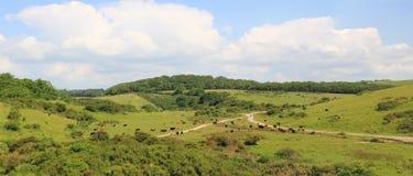 在purbeck小山的牛牧群 库存图片