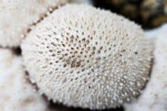 Purchawki pieczarkowy makro- Zdjęcia Stock
