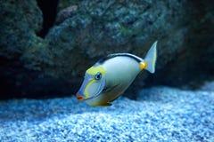Purdy-Fischschwimmen im Marineaquarium Stockbilder