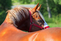 Pure arabian stallion portrait in summer farm Royalty Free Stock Image