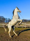 Pure Arabian white horse on training day. At the countryside farm Stock Image
