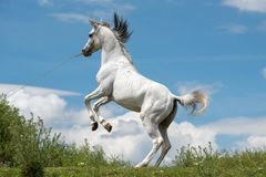 Pure Arabian white horse on training day at the countryside farm. In Covasna county , Romania Stock Photography