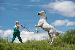 Pure Arabian white horse on training day with trainer. Pure Arabian white horse on training day at the countryside farm Stock Images