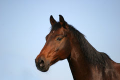 Pure beauty. Portrait of a beautiful horse stock images
