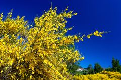 Pure Blue Pure Yellow. Pure yellow flower and blue sky in New Zealand Royalty Free Stock Image