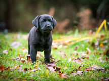 Pure Bred Black Labrador Retriever Puppy. A pure bred black Labrador retriever puppy playing outside in the yard during the fall season Royalty Free Stock Photography