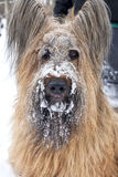 A Pure Bred Blond Briard Dog with Snow on it's Face. A portrait of a pure bred blond Briard with snow on it's face Royalty Free Stock Photos