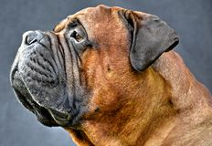 Pure bred bullmastiff dog portrait close-up on dark background Stock Images