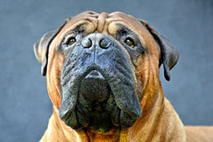 Pure bred bullmastiff dog portrait close-up on dark background Stock Image
