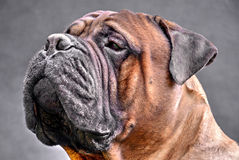 Pure bred bullmastiff dog portrait close-up on dark background Stock Photos