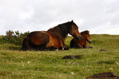 Pure Bred Dartmoor Mare & Foal Royalty Free Stock Photography