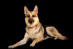 Pure bred german shepherd Stock Images
