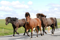 Pure bred Iceland wild ponies being rounded up. Icelandic ponies are left to roam wild throughout the land. These wild horses are being herded together and led Stock Photography