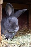 Pure bred male rabbit, Moravian blue, with tattoo in the ear Stock Image