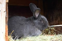 Pure bred male rabbit, Moravian blue, with tattoo in the ear Royalty Free Stock Photos