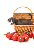 Pure bred pit bull puppy in basket with apples. Adorable pure bred pit bull puppy in a picnic basket looking adorably directly at audience, surrounded by Stock Photography
