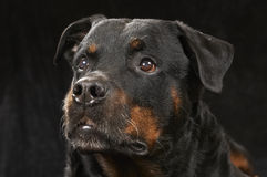 Pure bred rottweiler. On black background Stock Photography