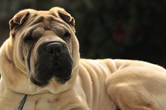 Pure-bred Shar Pei dog. Shallow dof portrait of sable horse-coat pure-bred Shar Pei dog, focus on muzzle Royalty Free Stock Photo