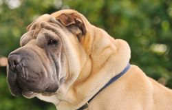 Pure-bred Shar Pei dog. Shallow dof portrait of sable horse-coat pure-bred Shar Pei dog, focus on left eye Royalty Free Stock Photography