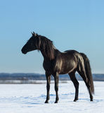 Pure Bred Spanish black stallion costs on snow meadow Stock Photography