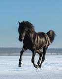 Pure Bred Spanish black stallion gallops on snow meadow. Black Andalusian stallion gallops on snow meadow Royalty Free Stock Image