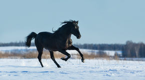 Pure Bred Spanish black stallion gallops on snow meadow. Black Andalusian stallion gallops on snow meadow Royalty Free Stock Photography