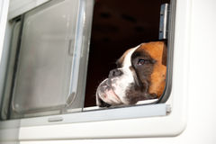 Pure breed bull dog. Is thinking while looking out of the car window stock image