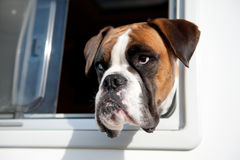 Pure breed bull dog. Is looking out of the car window royalty free stock photo