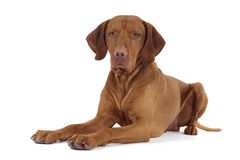 Pure breed dog laying on florr Stock Photography