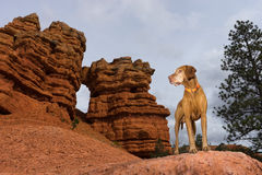 Pure breed dog posing on red rock formation in utah Stock Photos