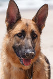 Pure Breed Female German Shepherd Dog. Portrait of young female pedigree German Shepherd dog with sand covered nose and alert ears on beach in the Outer Banks of Royalty Free Stock Image