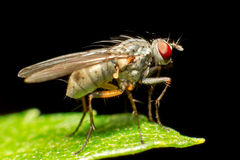 Pure Breed Fly Stock Photo