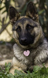 Pure breed German Shepherd puppy girl.  Royalty Free Stock Photography