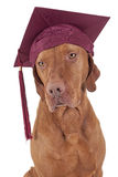 Graduation dog Stock Photography