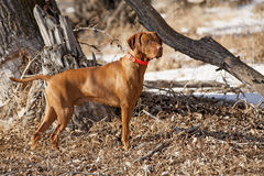 Hunting dog in action Royalty Free Stock Photos