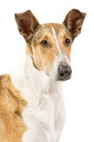 Pure breed golden smooth (short haired) Collie isolated on white Royalty Free Stock Photos