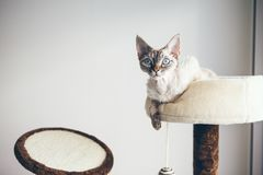 Pure breed indoor cat. royalty free stock photos