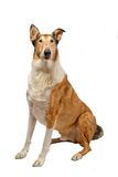 Pure breed smooth Collie. Pure breed golden smooth (short haired) Collie isolated on white stock photos