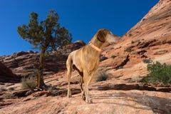 Pure breed vizsla on hike in coyote butte arizona Stock Photo