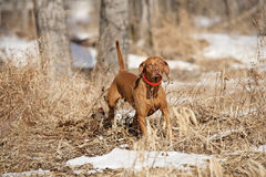 Hunting dog in field Royalty Free Stock Images
