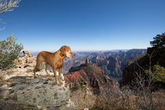 Pure breed vizsla stands at the edge of the grand canyon arizona Royalty Free Stock Image