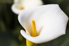Pure calla Stock Photography