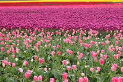 Pure Color. Tulips as far as you can see stock photo