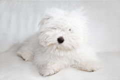 Pure Coton de Tuléar dog. A rare dog breed from Madagascar Coton de Tuléar, 8 months old. Related to the Maltese and Havanese type royalty free stock photo