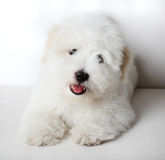 Pure Coton de Tuléar puppy. A pure-bred puppy of the uncommon breed Coton de Tuléar. Aged 3 months, of the Maltese sort Stock Photo