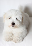 Pure Coton de Tuléar puppy. A pure-bred puppy of the uncommon breed Coton de Tuléar. Aged 3 months, of the Maltese sort Royalty Free Stock Photos