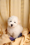Pure Coton de Tuléar puppy. A pure-bred puppy of the uncommon breed Coton de Tuléar. Aged 3 months, of the Maltese sort Stock Photography