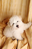 Pure Coton de Tuléar puppy. A pure-bred puppy of the uncommon breed Coton de Tuléar. Aged 3 months, of the Maltese sort Royalty Free Stock Photo