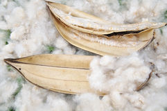 Pure Cotton on grass Stock Image