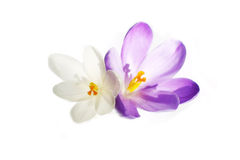 Pure crocus Royalty Free Stock Image